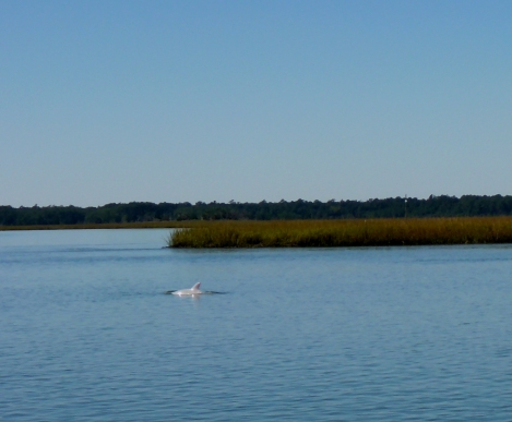 Rare sighting of a White Dolphin in North Inlet